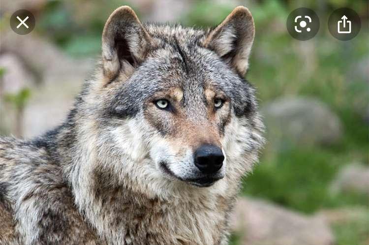 Persönlichkeitstests » Was für ein Wolf bin ich?